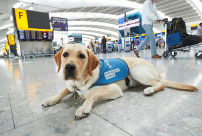 Guide dog at London Heathrow airport